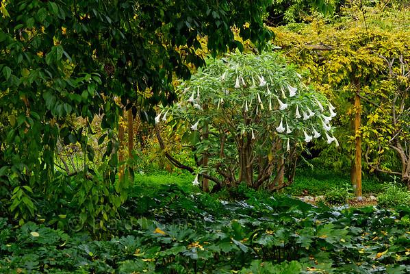 [ITALY.LIGURIA 29015] 'Brugmansia suaveolens in Hanbury Gardens'.'  Brugmansia suaveolens in the Hanbury Botanical Gardens near Ventimiglia. Photo Paul Smit.