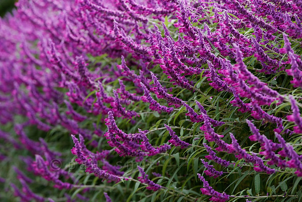 [ITALY.LIGURIA 28989] 'Salvia leucantha 'Purple velvet'.'  The purple flowers of Salvia leucantha 'Purple velvet' border the central avenue in the Hanbury Botanical Gardens, which are located on the Côte d'Azur near Ventimiglia. Photo Paul Smit.