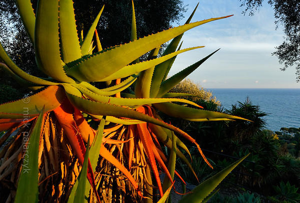[ITALY.LIGURIA 29009] 'Aloes in Hanbury Gardens'.'  Aloë specimens (with the oldest leaves turning red and brown) in the Hanbury Botanical Gardens near Ventimiglia. Photo Mick Palarczyk.
