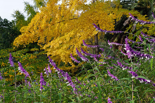 [ITALY.LIGURIA 28971] 'Ginkgo and Salvia leucantha.'  A Ginkgo in yellow autumn garb forms a striking colour contrast with the purple flowers of Salvia leucantha at the Hanbury Botanical Gardens, located on the Côte d'Azur near Ventimiglia. Photo Mick Palarczyk.