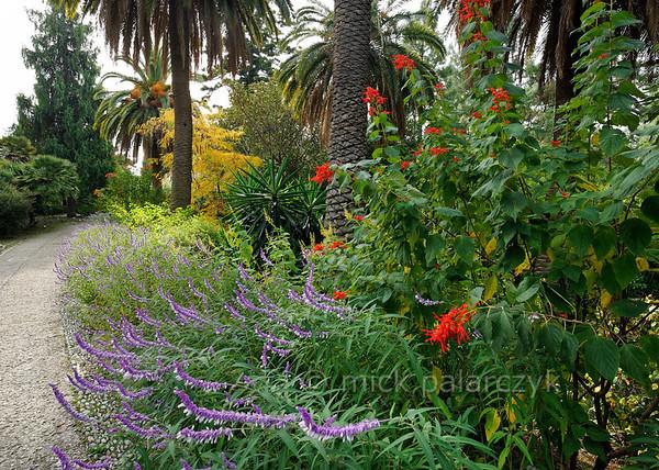 [ITALY.LIGURIA 28976] 'Salvia leucantha at Hanbury Gardens.'  The purple flowers of Salvia leucantha are bordering a path in the Hanbury Botanical Gardens, located on the Côte d'Azur near Ventimiglia. Photo Mick Palarczyk.