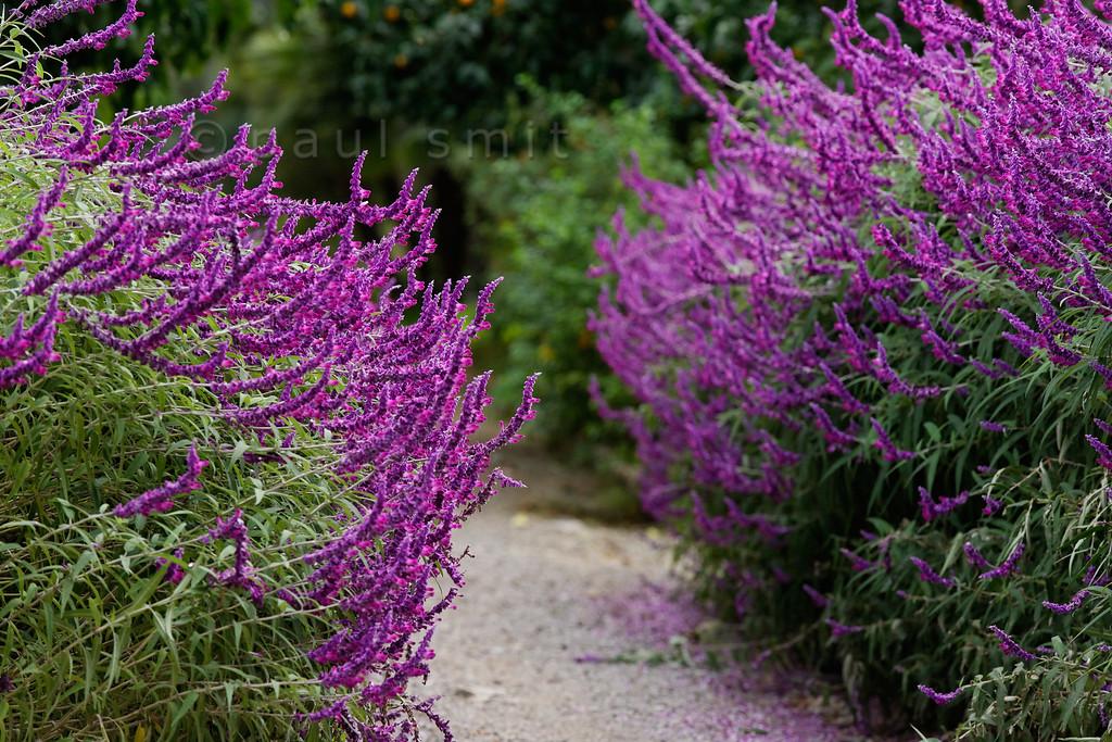 [ITALY.LIGURIA 28992] 'Salvia leucantha 'Purple velvet'.'  The purple flowers of Salvia leucantha 'Purple velvet' border the central avenue in the Hanbury Botanical Gardens, which are located on the Côte d'Azur near Ventimiglia. Photo Paul Smit.