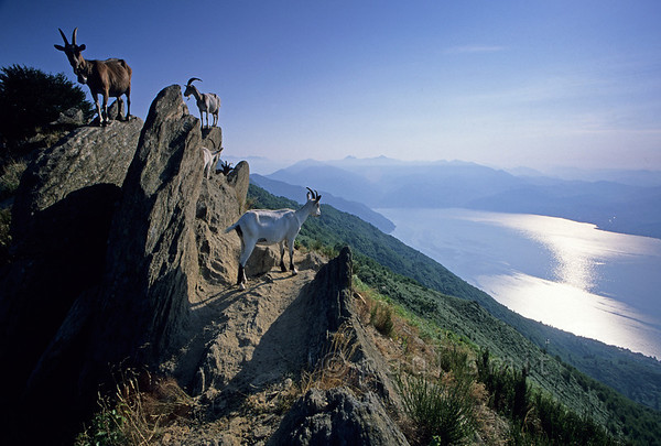 [ITALY.PIEMONTE 01593]  'Goats with a view.'  While in high season tourists are trapped in the traffic on the road circling Lago Maggiore, a few hundred meters up you'll find perfect quietness. Take a hike and share the marvellous panoramas with the goats. The Alto Verbano offers the best slopes for such walks. Photo taken near Piancavallo by Paul Smit.