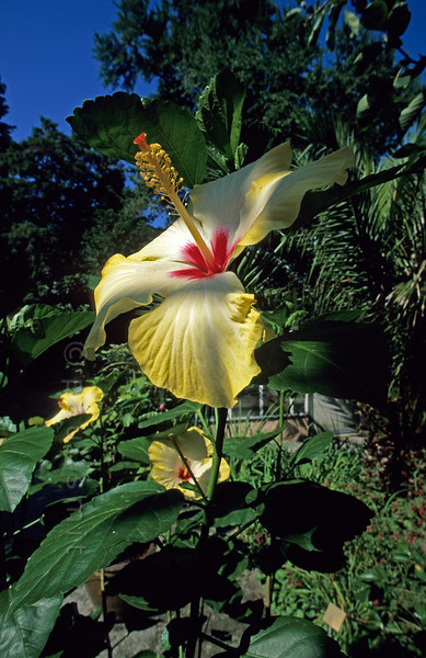 [SWITZER.TICINO 01386]  'Hibiscus, Brissago Island.'  Hibiscuses are part of the exotic vegetation on the Brissago Islands in the Swiss part of the Lago Maggiore. The largest island, now a botanical garden, was designed by a beautiful barones, who not only loved flowers but even more money and male intellectuals. Bankrupt finally she had to sell her paradise to Max Emden. Photo Paul Smit.