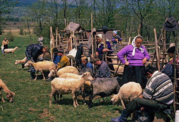 [ROMANIA.MARAMURES 23.849] 'Stîna.'  High above Hoteni on the pastures where all the sheep of the village will be herded and milked together during the coming summer, the 'Stîna' festival is the moment to measure how much milk the sheep of each family produce. It will regulate the amount of communal produced cheese each family will receive at the end of the year. Photo Mick Palarczyk.