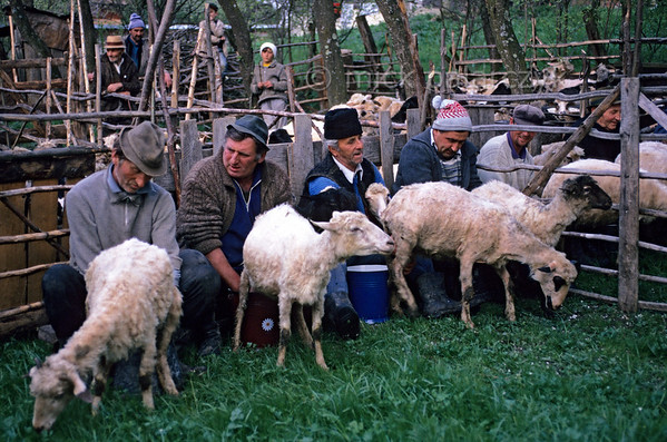 [ROMANIA.MARAMURES 23.829] 'Milking to the last drop.'  On a spring evening in Hoteni every farmer has to make sure all his sheep are thoroughly milked as a preparation for the 'Stîna' or 'Measuring of the Milk' festival next day. Photo Mick Palarczyk.