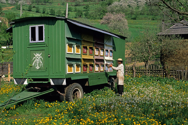 [ROMANIA.MARAMURES 23.885] 'Caravan-dwellers.'  In Valeni, a village in the Iza valley, beekeeper Gheorghe Utan is able to transport his hives to flower rich environments in this bee-wagon. Photo Mick Palarczyk.