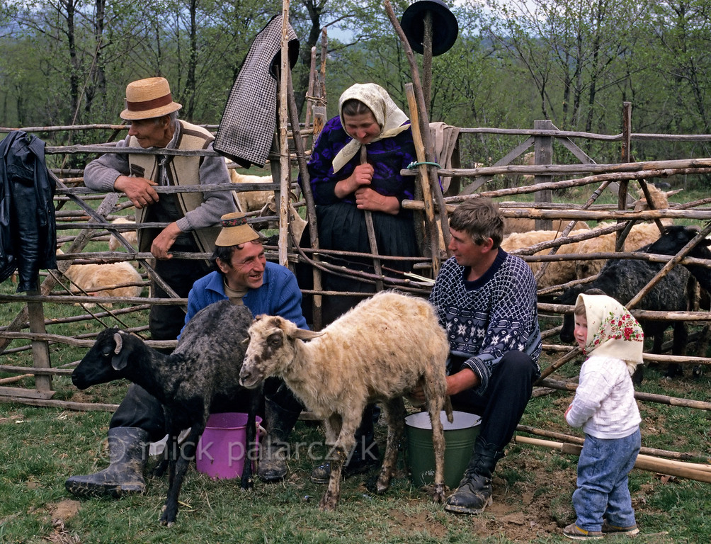[ROMANIA.MARAMURES 23.853] 'Family milking'.