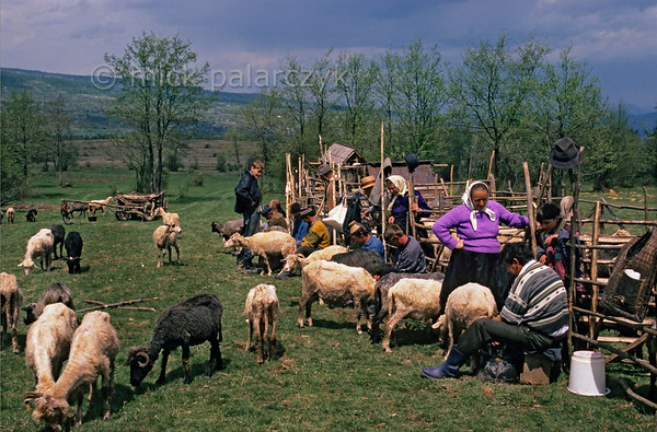 [ROMANIA.MARAMURES 23.848] 'Stîna.'  High above Hoteni on the pastures where all the sheep of the village will be herded and milked together during the coming summer, the 'Stîna' festival is the moment to measure how much milk the sheep of each family produce. It will regulate the amount of communal produced cheese each family will receive at the end of the year. Photo Mick Palarczyk.