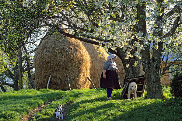 [ROMANIA.MARAMURES 23.636] 'Repentant dog.'  After having been bullied by the watchdog, the two kittens are satisfied onlookers as the culprit, with a guilty look in his eyes, gets scolded by the farmer's wife. Spring blossom and haystacks round off this idyllic scene in Breb, a small village south of Sighetu Marmatiei in the Maramures. Photo Mick Palarczyk.