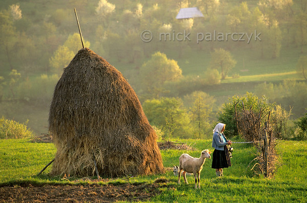 [ROMANIA.MARAMURES 23.648] 'Shepherd near Breb.'  While keeping an eye on her sheep this shepherd has attached her braiding work to a fence. Photo Mick Palarczyk.