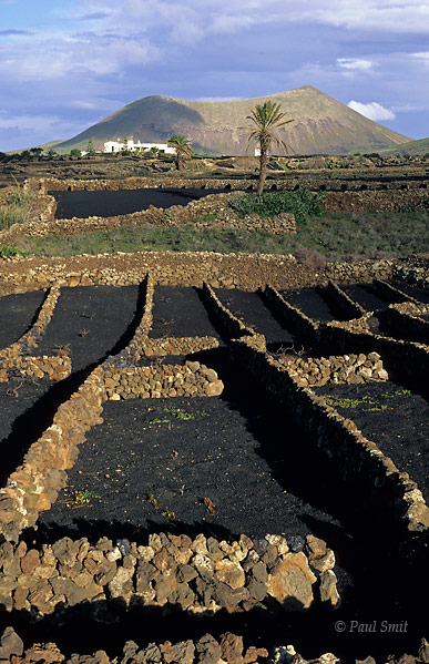 [SPAIN.CAN.LANZAROTE 9373] 'Vineyard 2.'  Vineyard in spring. Walls block the trade winds and small, porous lava stones called picón absorb moist from the air at night. Photo Paul Smit.