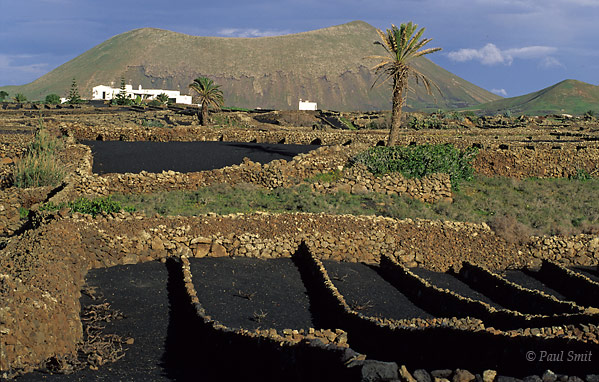 [SPAIN.CAN.LANZAROTE 9372] 'Vineyard 1.'  Vineyard in spring. Walls block the trade winds and small, porous lava stones called picón absorb moist from the air at night. Photo Paul Smit.