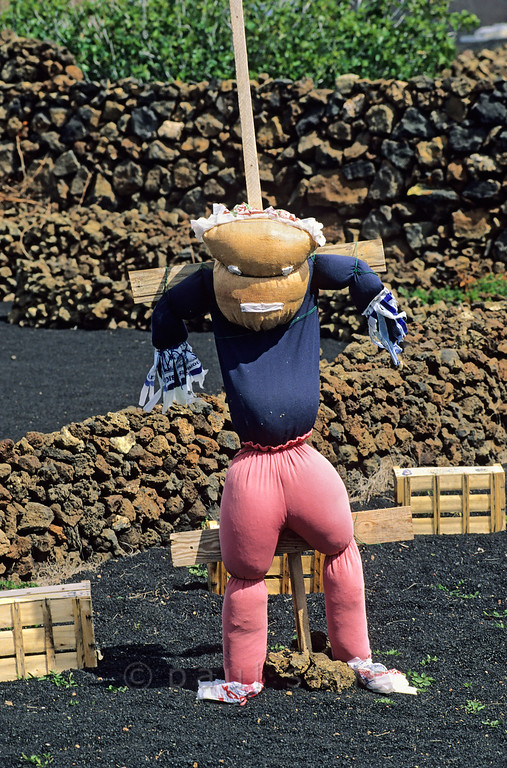 [SPAIN.CAN.LANZAROTE 9369] 'Scarecrow on steroids.'  A scarecrow with pumped up muscles has been set up to guard crops on typical Lanzarote soil: picón, small porous lava stones that absorb moist from the air at night. Photo Paul Smit.