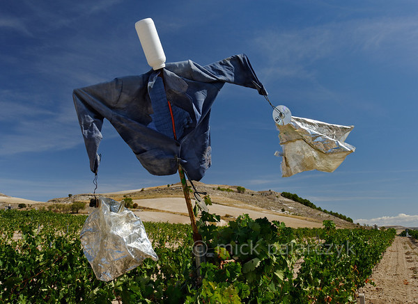 [SPAIN.CLEON 28642] 'Scarecrow in vineyard near Peñafiel.'  	A scarecrow tries to protect the grapes in a vineyard near Peñafiel (Valladolid province). The town is located in one of Spain's most famous vine growing regions and Peñafiel Castle nowadays is home to a Wine Museum. Photo Mick Palarczyk.