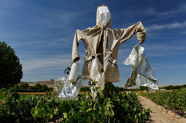 [SPAIN.CLEON 28641] 'Scarecrow in vineyard near Peñafiel.'  	A scarecrow tries to protect the grapes in a vineyard near Peñafiel (Valladolid province). The town is located in one of Spain's most famous vine growing regions and Peñafiel Castle nowadays is home to a Wine Museum. Photo Mick Palarczyk.