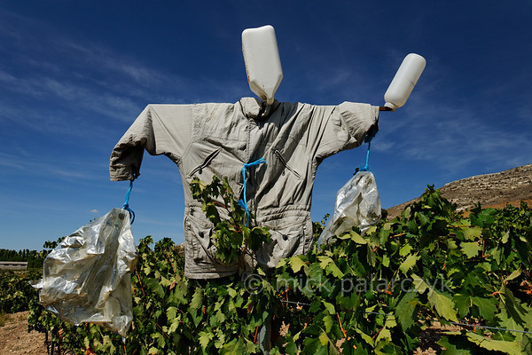 [SPAIN.CLEON 28643] 'Scarecrow in vineyard near Peñafiel.'  	A scarecrow tries to protect the grapes in a vineyard near Peñafiel (Valladolid province). The town is located in one of Spain's most famous vine growing regions and Peñafiel Castle nowadays is home to a Wine Museum. Photo Mick Palarczyk.