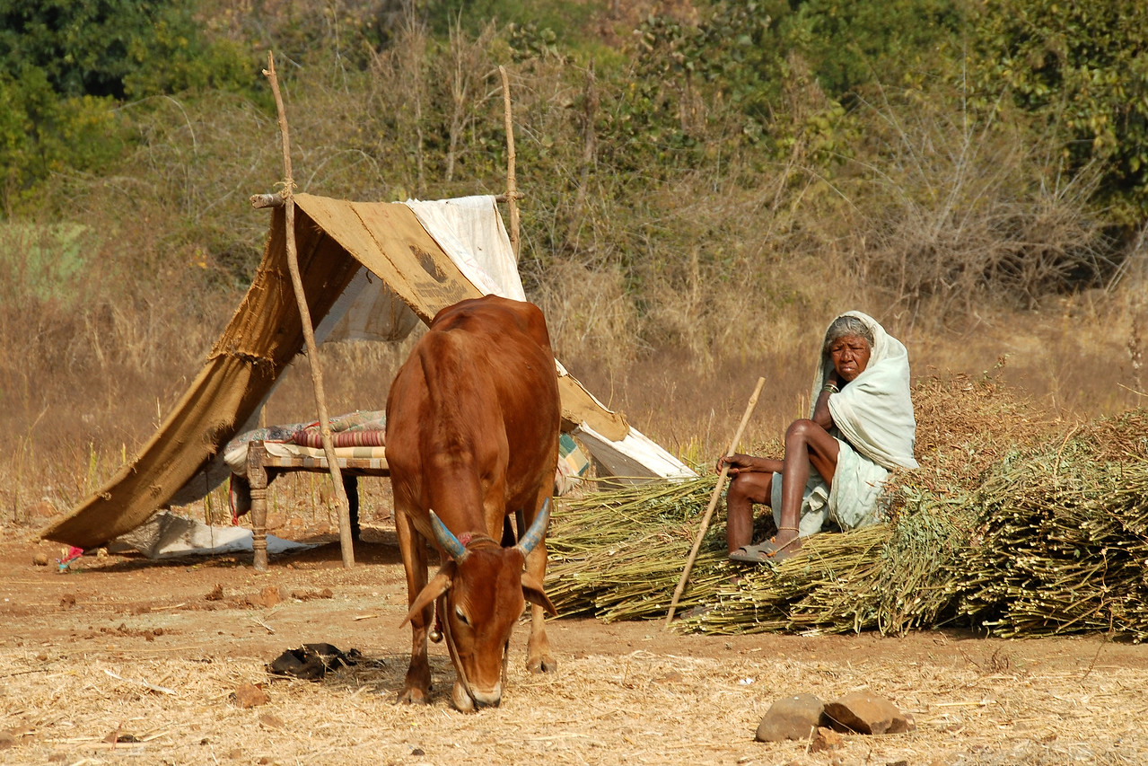 India: Lady with her cattle who are grazing the dry grass lands. Seen behind is the temporary shelter to save from the sweltering heat. 05; Mar; 07.