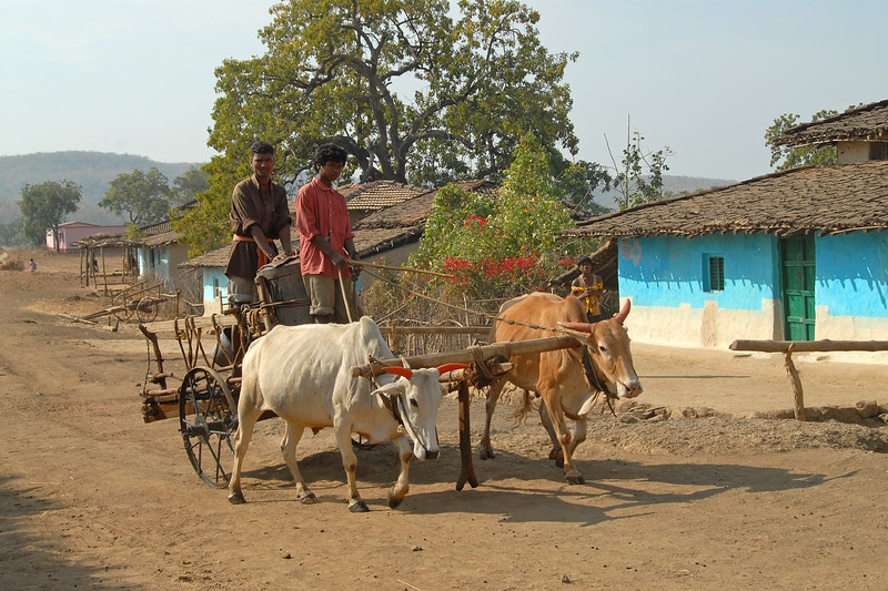 India: Bullock carts are used to ferry water from the nearby village stream. January 29, 2007