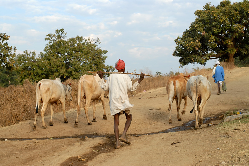 India: Villager returning wtih his cattle which were taken to graze the grass. Living on a very low income the villagers depend on their cattle and farm lands. Image taken near Nagpur, Maharasthra in India<br /> Jan 2007.