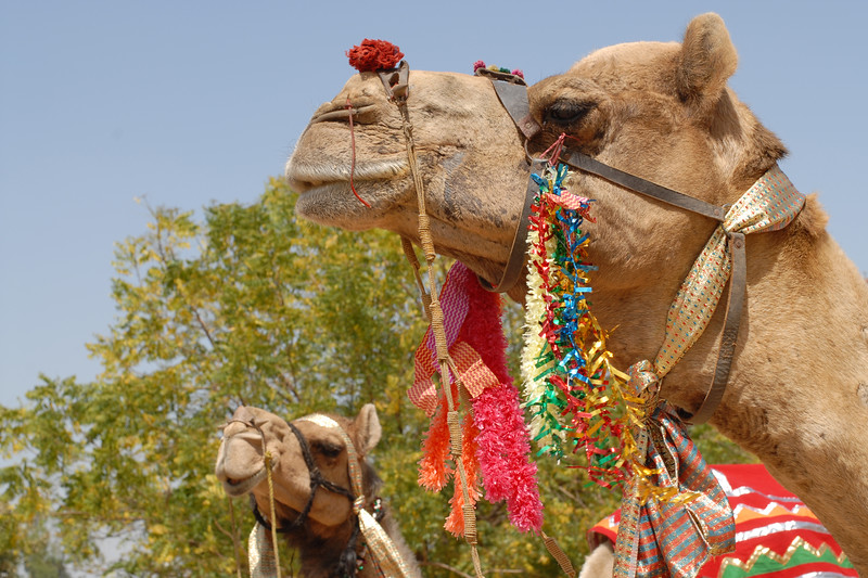 Decorated camels for the Camel Race on the occasion of Rajasthan Day Celebrations in Jaipur, March/April 2007, India.<br /> <br /> With the aim of showcasing Rajasthan State's culture & heritage and reviving the traditional sports, cuisines and folk-art, Rajasthan Diwas Celebrations were held from 21st March to 30th March 2007. Craft-Bazaar, Food Festival, Night Bazaar, Sports competitions, spectacular fire-works, Mega Cultural Concerts, and competitions for school students were organized.