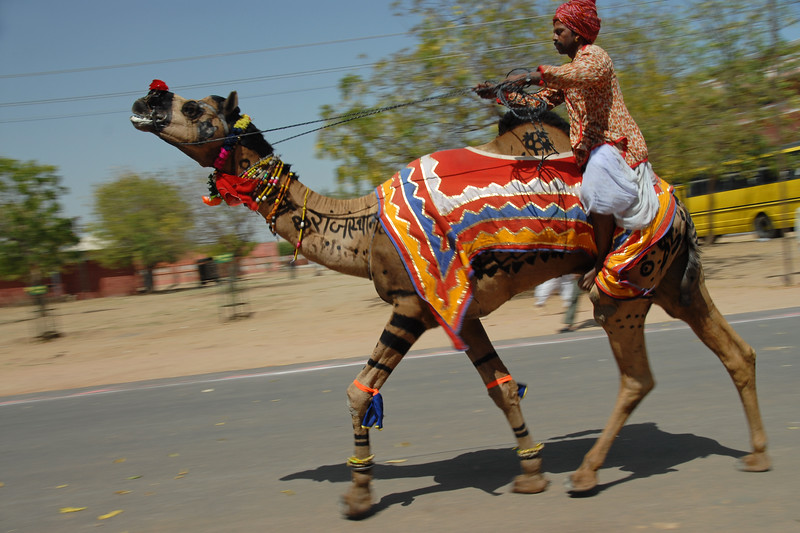Decorated camels race on the road to establish the fastest camel and winner of the Camel Race competition on the occasion of Rajasthan Day Celebrations in Jaipur, March/April 2007, India.<br /> <br /> With the aim of showcasing Rajasthan State's culture & heritage and reviving the traditional sports, cuisines and folk-art, Rajasthan Diwas Celebrations were held from 21st March to 30th March 2007. Craft-Bazaar, Food Festival, Night Bazaar, Sports competitions, spectacular fire-works, Mega Cultural Concerts, and competitions for school students were organized.