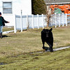 A runaway cow rushed through downtown Effingham Monday afternoon. Several individuals assisted in attempting to restrain it.