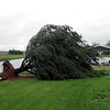 Recent storms uprooted this tree on Tom and Jody Hardiek's property in the southern portion of Dieterich.
