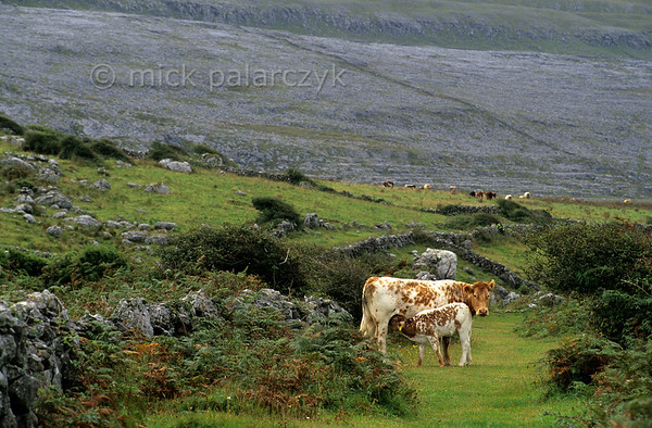 [IRELAND.CLARE 21930] 'Cows on The Burren.'  Cows roam freely on an old trade route which follows the coast north of Craggagh. The background is formed by a barren limestone slope of The Burren. Photo Mick Palarczyk.