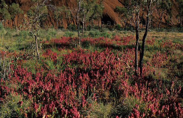 [AUSTRALIA.NTERRITORY 9842] 'Desert flowers near Uluru.'  After a rare rainshower, desert flowers called Rosy Dock (Rumex vesicarius) pop up at the base of Uluru (Ayers Rock). Photo Paul Smit.