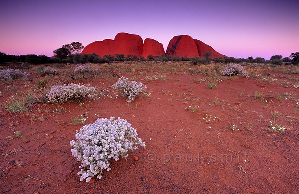 [AUSTRALIA.NTERRITORY 9856] 'Desert flowers near Kata Tjuta.'  Kata Tjuta (The Olgas) is as spectacular as Uluru (Ayers Rock), 25 km to the east. Here it is seen at sunset. The white bushes are called Cotton Bush (Ptilotus obovatus). Photo Paul Smit.