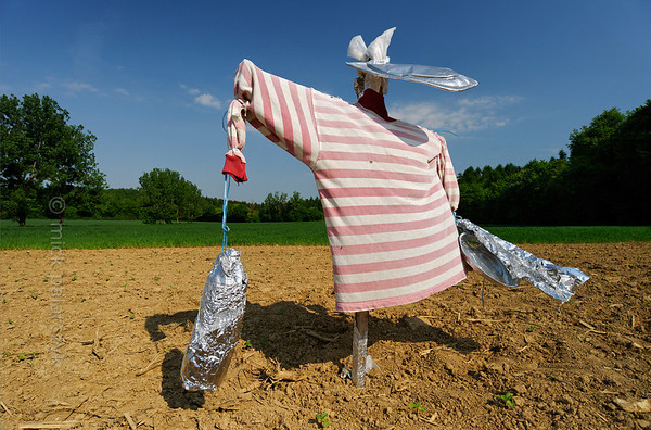 [FRANCE.JURA 29112] 'Scarecrow south of Chancey.'  	A scarecrow with a striped shirt guards a field near Chancey, a village 30 km west of Besançon. Photo Mick Palarczyk.