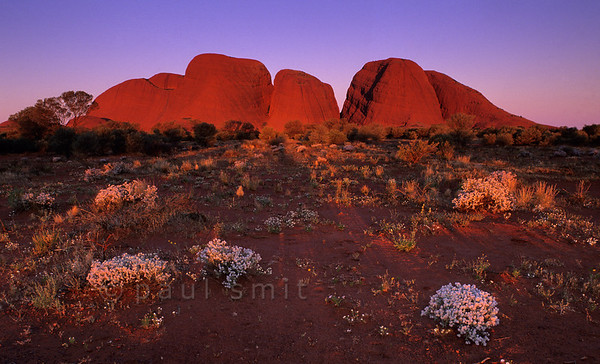 [AUSTRALIA.NTERRITORY 9860] 'Desert flowers near Kata Tjuta.'  Kata Tjuta (The Olgas) is as spectacular as Uluru (Ayers Rock), 25 km to the east. Here it is seen at sunset. The white bushes are called Cotton Bush (Ptilotus obovatus). Photo Paul Smit.