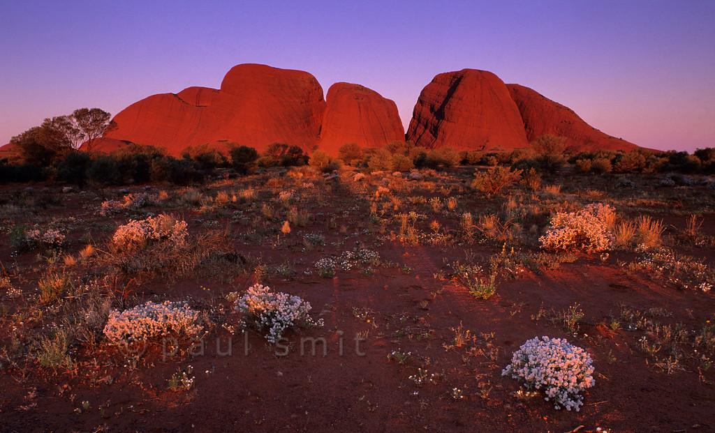 [AUSTRALIA.NTERRITORY 9860] 'Desert flowers near Kata Tjuta.'  Kata Tjuta (The Olgas) is as spectacular as Uluru (Ayers Rock), 25 km to the east. Here it is seen at sunset. The white bushes are called Cotton Bush (Ptilotus obovatus). Photo Paul Smit.