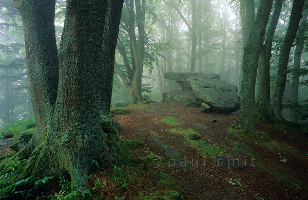 [FRANCE.VOSGES 9158]  'Magical forest.'  The Vosges mountains in the northeast of France are covered with forest. This magical spot, deep in the forest, can be found near Haute Koenigsbourg. Photo Paul Smit.