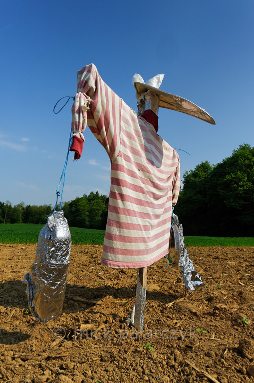 [FRANCE.JURA 29113] 'Scarecrow south of Chancey.'  	A scarecrow with a striped shirt guards a field near Chancey, a village 30 km west of Besançon. Photo Mick Palarczyk.