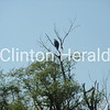 American Bald Eagle @ Clinton Lawn Cemetery - actually taken the morning of July 2nd, 2012<br /> <br /> Photographer's Name: Mike Goddard<br /> Photographer's City and State: Clinton, IA