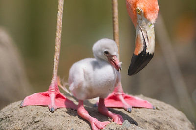 070212, Stoneham, MA - A newborn flamingo stands with an adult flamingo at Zoo New England in Stoneham on Monday. Herald photo by Ryan Hutton