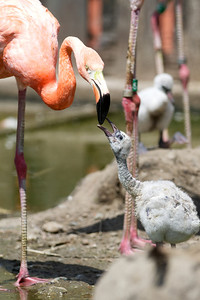 070212, Stoneham, MA - A young flamingo is fed by an adult flamingo at Zoo New England in Stoneham on Monday. Herald photo by Ryan Hutton