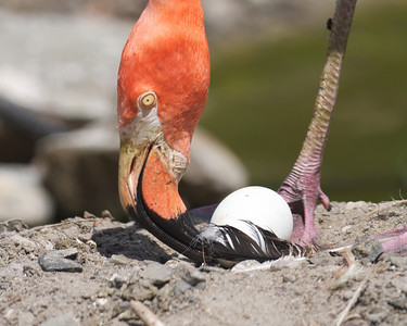 070212, Stoneham, MA - A flamingo places a feather on a nested egg in the flamingo exhibit at Zoo New England in Stoneham on Monday. the zoo has seen a half dozen new flamingos born in the past few weeks. Herald photo by Ryan Hutton