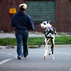 "Harley, a Great Dane, looks back on a walk with owner Wendy Pals in Effingham. Pals said most people she meets on walks have something to say about the Harley's size. ""I've heard them all,"" she said."