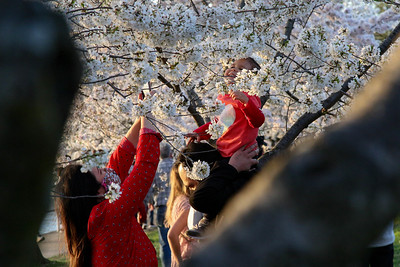 A couple poses a child for a photograph in a Cherry Blossom tree at the Tidal Basin in Washington, D.C. on March 30, 2021