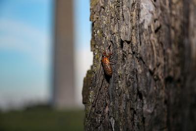 Cicadas emerge near the Washington Monument