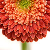 """A gerbera flower is seen at the Chive booth at the Philadelphia Flower show on Saturday. The show, titled """"Brilliant!"""" runs through March 10."""