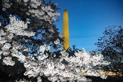 The Washington Monument is seen behind Cherry Blossom trees on the National Mall in Washington, D.C. on March 30, 2021 as the trees reach an annual peak bloom