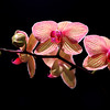"""A colorful orchid is seen in a display at the Philadelphia Flower show on Saturday. The show, titled """"Brilliant!"""" runs through March 10."""