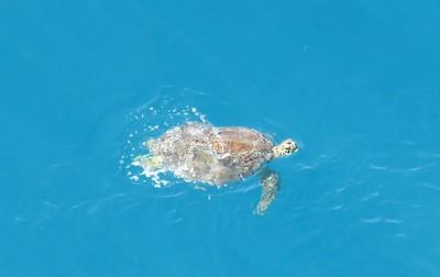 Green Sea Turtle Sint Maarten