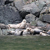 Harbor seals, Vendovi Island. Photo credit Ferdi Businger.