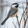black-capped chickadee golden bc