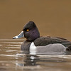 ring-necked duck victoria bc